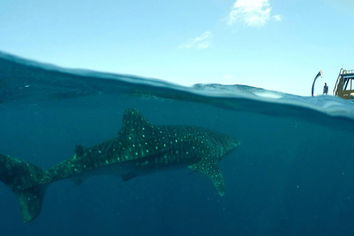 Volunteering in the Maldives – Protecting Endangered Whale Sharks