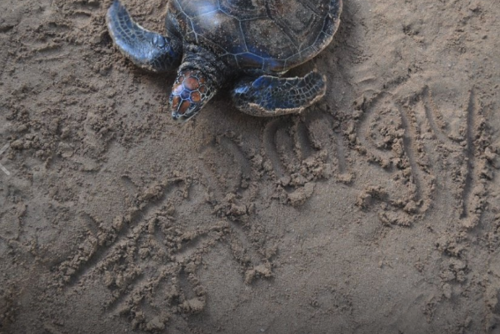 Turtle Conservation Volunteering in Sri Lanka from £200 with PMGY