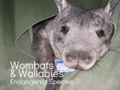 Endangered Species Conservation   Care for Wombats and Wallabies
