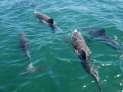 AUSTRALIA: Conservation: Volunteer with Dolphins in Bunbury