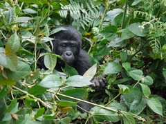 Ugandan Wildlife & Gorilla Conservation Tour