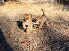 SOUTH AFRICA: Lion Rescue and Rehabilitation in a Game Reserve Sanctuary