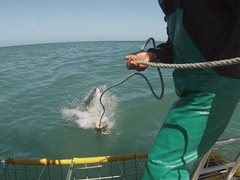 SOUTH AFRICA: The Great White Shark Project in Stunning Cape Town!