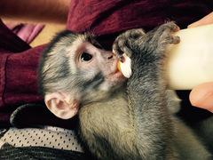 SOUTH AFRICA: Vervet Monkey Care, Rehabilitation and Release Project in KwaZulu-Natal