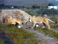 SOUTH AFRICA: Conservation with Lions and other Big Cats in a Wildlife Sanctuary nr Cape Town