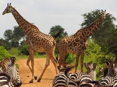 Volunteer with Giraffes