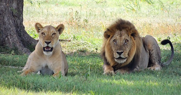 Volunteer with Lions in Africa