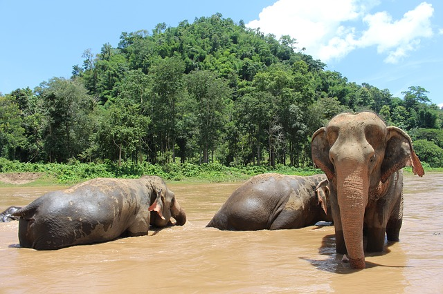 Northern Thailand Elephants