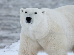 What Animals Live in the Arctic