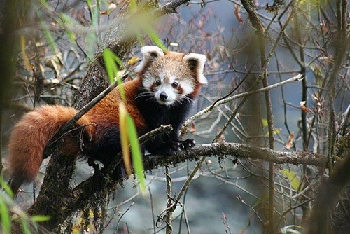 Fire Fox Search: Red Panda Tracking Vacation