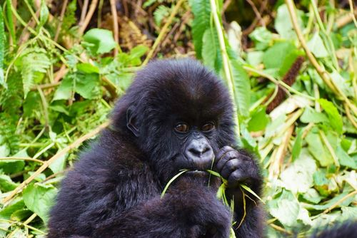 Gorilla Trekking and Bird Watching Vacation