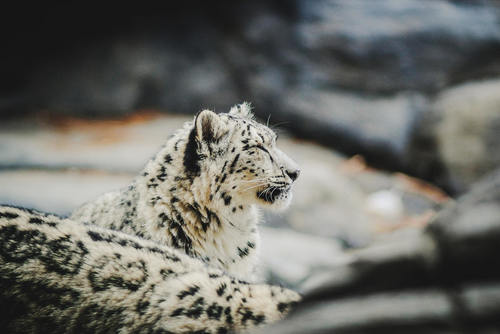 Gray Ghost: Snow Leopard Tracking Vacation