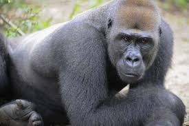 Ape Action Africa Charity Fundraiser in London