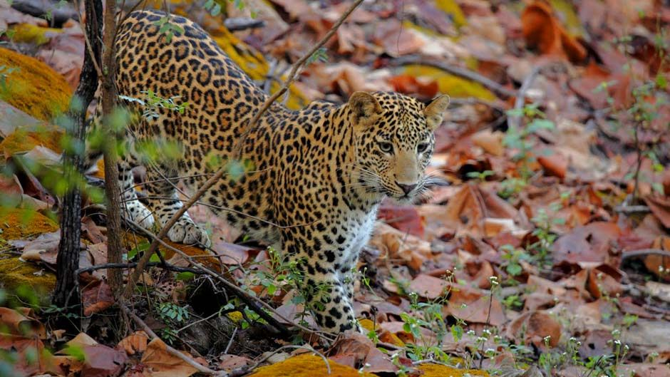 Bandhavgarh National Park Leopard Safaris