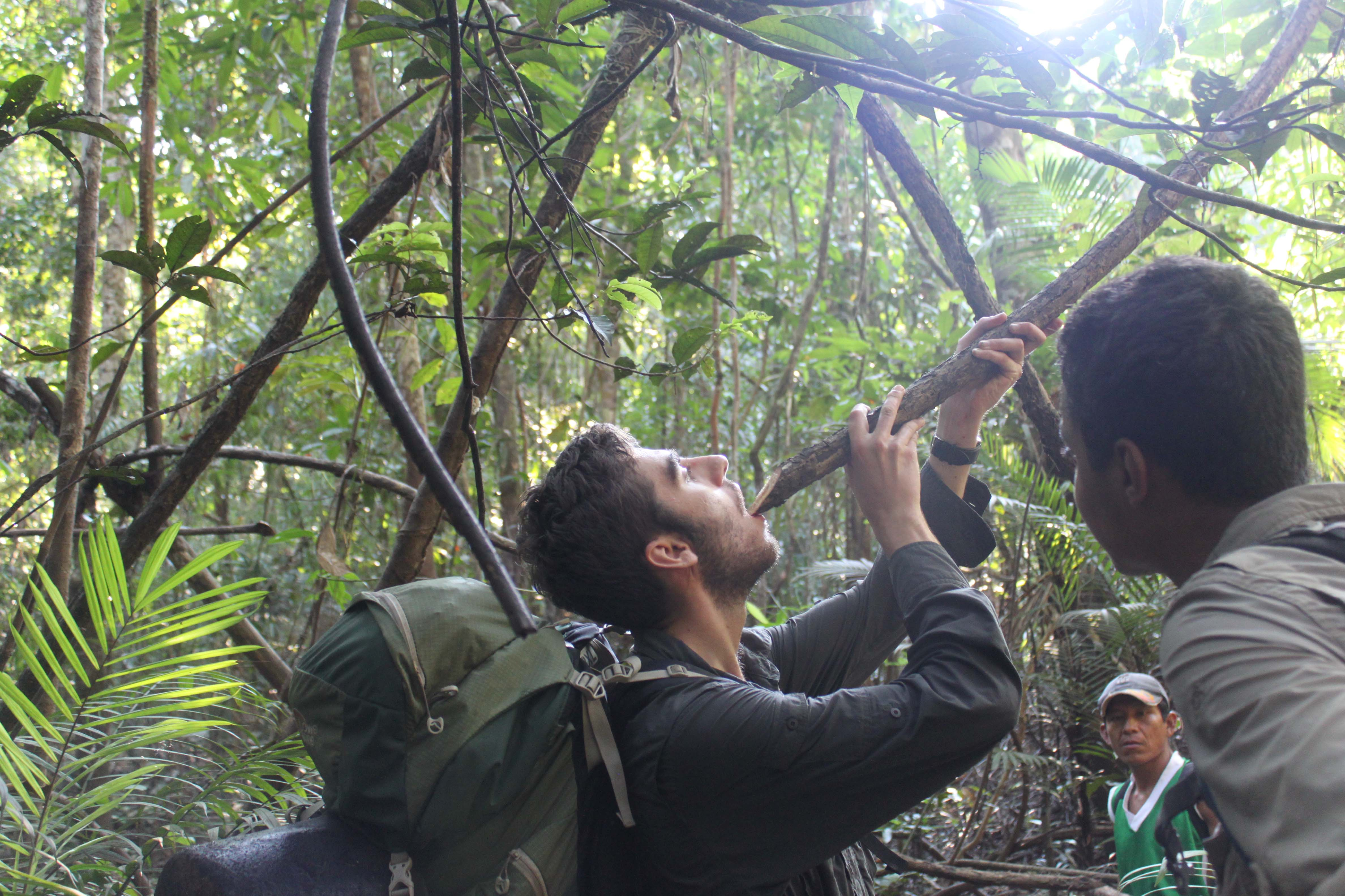 Drinking from a branch in the Amazon