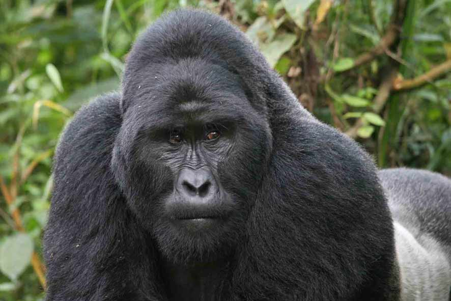 Gorilla Safari Tours Africa