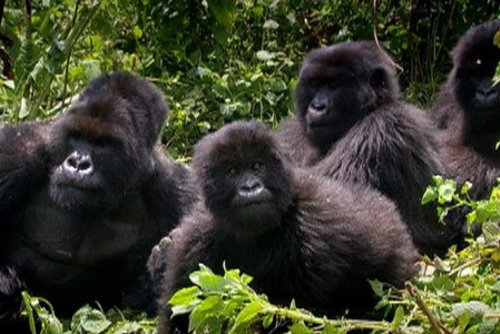 Gorilla Watching Tours Uganda