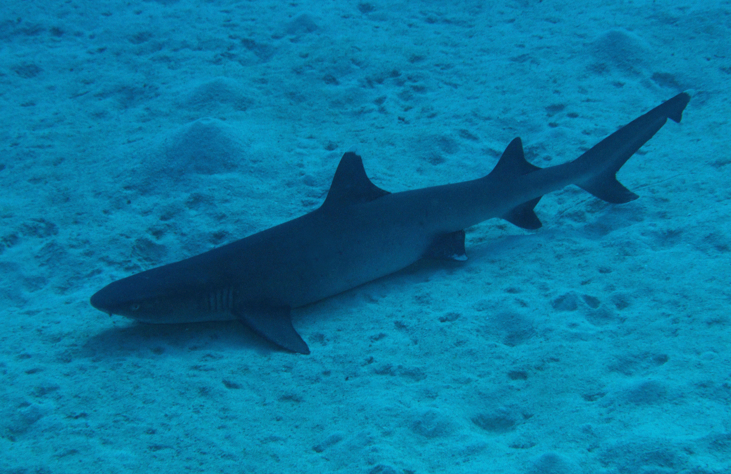 Great Barrier Reef Scuba Diving Sharks