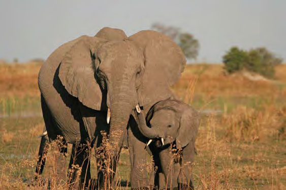 Volunteer with Elephants in Botswana