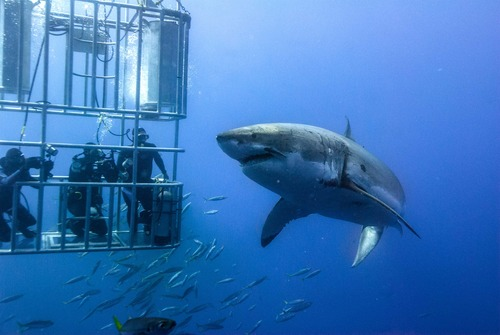 Dive with Great White Sharks in Mexico