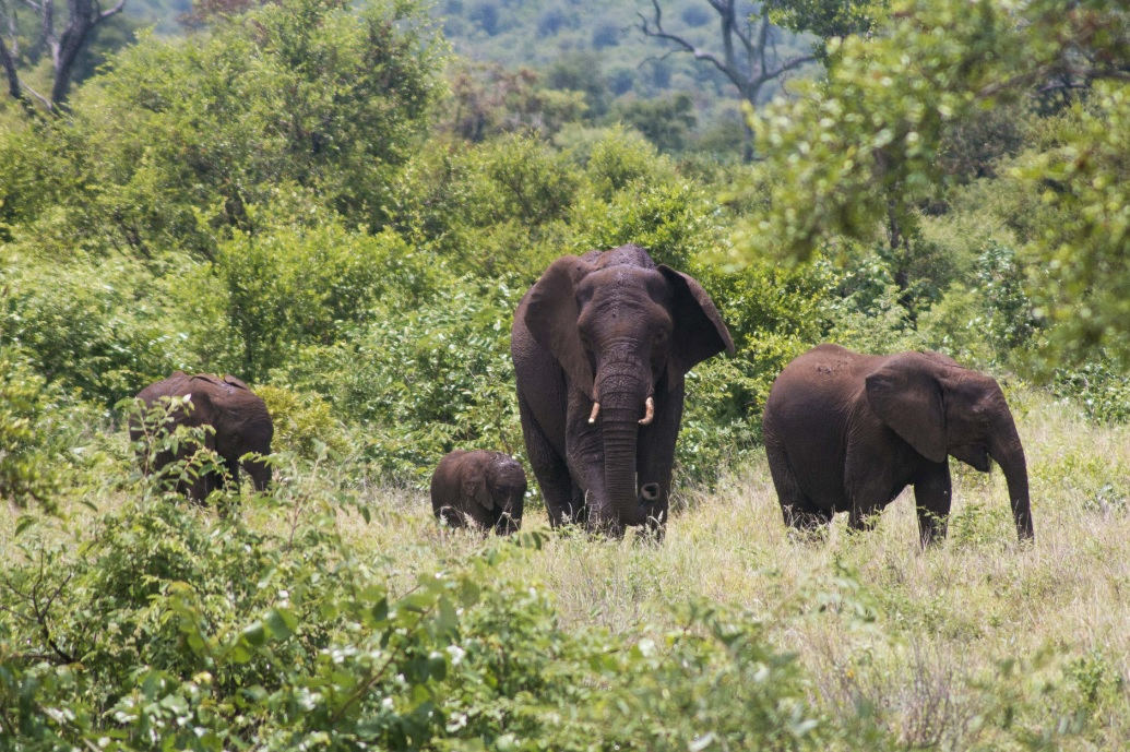 Elephants Kruger National Park