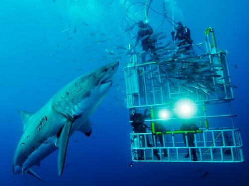 Scuba Dive with Great White Sharks in South Africa