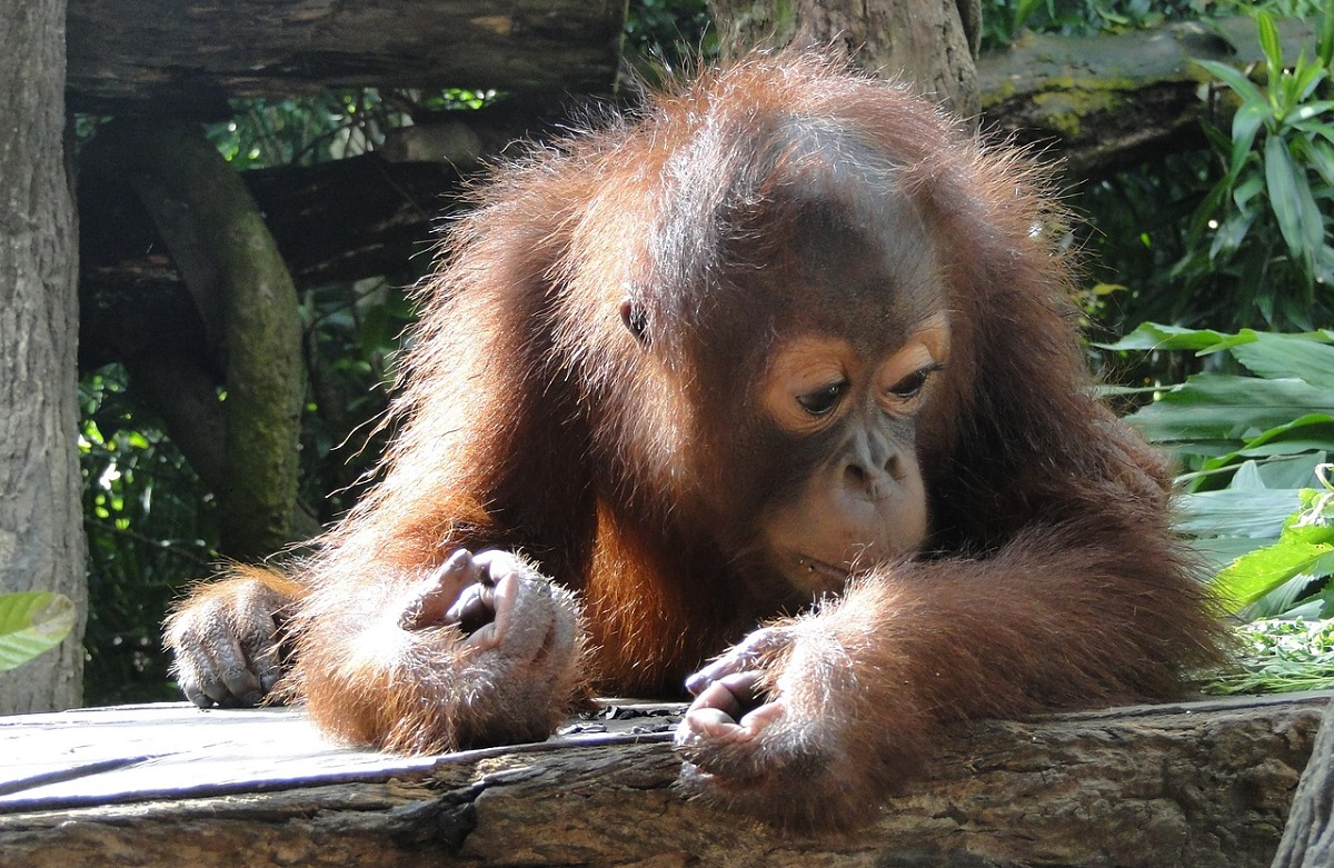 Summer travel ideas help orangutans