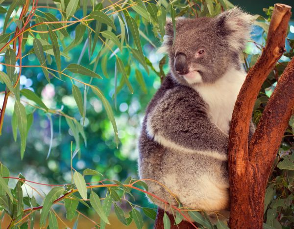 top things to do in Australia - Lone Pine Sanctuary