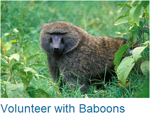 Volunteer Baboons