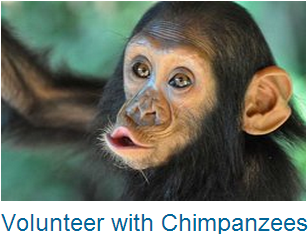 Volunteer Chimpanzees