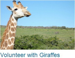 Volunteer Giraffes