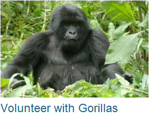 Volunteer Gorillas