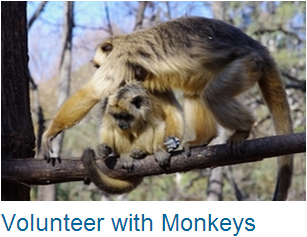 Volunteer Monkeys