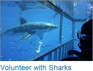 Volunteer Sharks