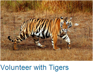 Volunteer Tigers